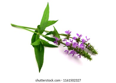 Stachys Officinalis Medicinal and Culinary Herb Plant. Also Hedgenettle, Heal-All, Self-Heal, Woundwort, Wood Betony, Lamb's Ears. Isolated on White Background.