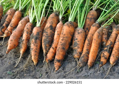 the stack of fresh harvested organic carrots in the field