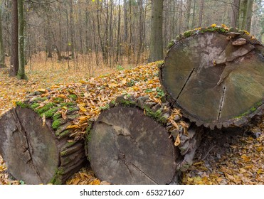 Stack of old declining oak tree logs under dry leaves, Bialowieza Forest, Poland, Europe