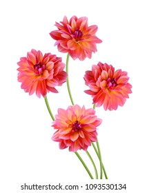 Stack pink dahlia flowers closeup on white background