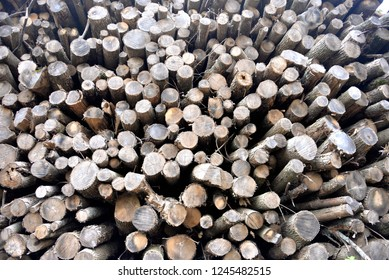 Stacked dried log ends piled high after these ash trees were removed from an infestation of the emerald ash borer.