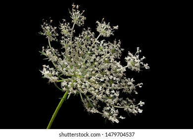 Stacked Macro Photograph of isolated Queen Anne's Lace on a solid black background.