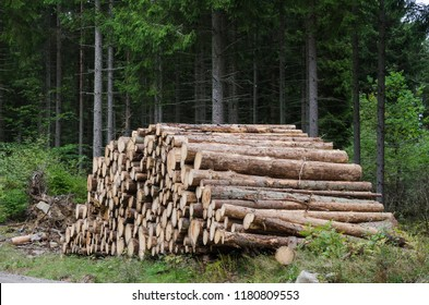Stacked whitewood logs in an old coniferous forest
