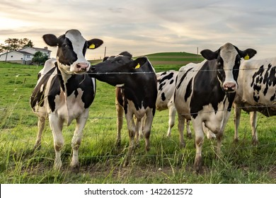 Staff meeting at the dairy farm. Black and white Holstein cows standing in a line at a barbed wire fence at twilight.