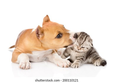 stafford puppy biting little tabby kitten. isolated on white background