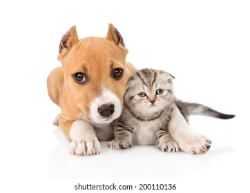 stafford puppy embracing small scottish kitten. isolated on white background