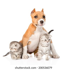 stafford puppy and two scottish kittens sitting together. isolated on white background
