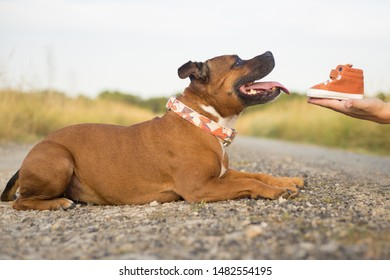 Staffordshire bull terrier with a baby shoes