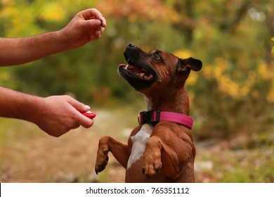 Staffordshire bull terrier and clicker
