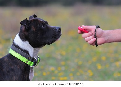 staffordshire bull terrier and clicker training