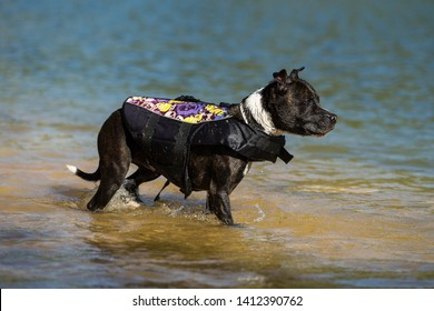 Staffordshire bull terrier diving on the water