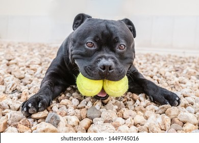 Staffordshire Bull Terrier dog holding two tennis balls in his mouth. He is lying on the ground looking at the camera with his paws stretched out in front. He looks funny.