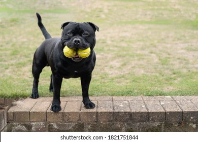 Staffordshire Bull Terrier dog holding two tennis balls in his mouth. He is standing on a step looking at the camera. There is copy space