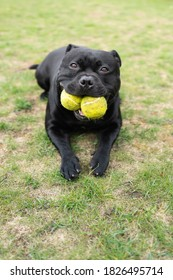 Staffordshire Bull Terrier dog holding two tennis balls in his mouth. He is lying on grass looking at the camera.