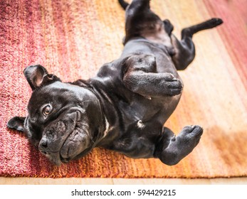 Staffordshire bull terrier dog lying on his back and side with his paws in the air after rolling and stretching on a wool, orange and red rug.