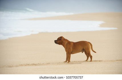 Staffordshire Bull Terrier dog outdoor portrait at beach with waves coming up
