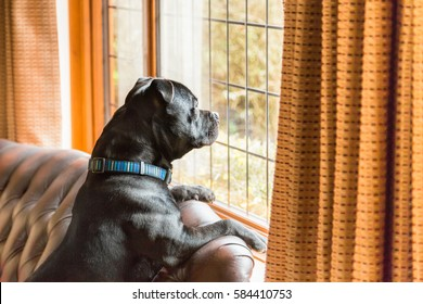 Staffordshire bull terrier dog sitting up on a leather sofa in a home with his paws on the back looking out of a traditional style lead lined window.