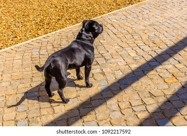Staffordshire Bull Terrier dog standing in profile looking ahead. He has a black silky coat, fur he is not wearing a collar. He is muscular and strong