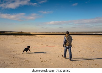 a staffordshire bull terrier dog is walked on a beach a low tide on soft sand on a retractable leash in winter