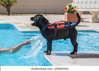 staffordshire bull terrier dog wearing a life jacket, buoyancy aid by the side of a swimming pool, playing happily and safely. A man's arm is splashing him.