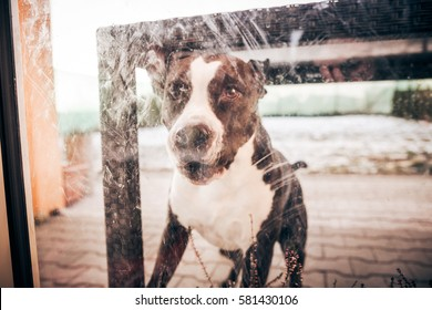 Staffordshire Bull Terrier female dog really wanting to get inside the house to play with their human housemates -  cute, friendly and loyal to her people friends