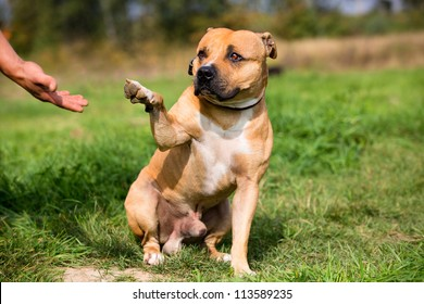 Staffordshire bull terrier gives paw for friendship