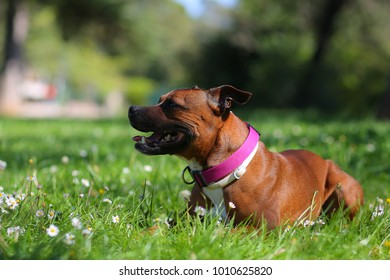 Staffordshire bull terrier in the grass