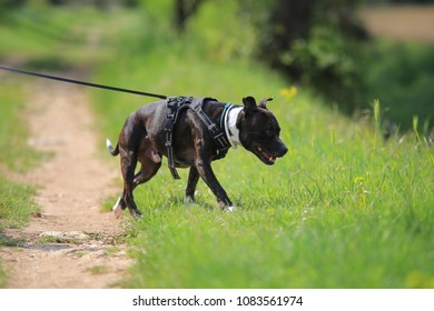 Staffordshire bull terrier, leash, pet, dog, animal,outdoor, outside, purebred, education, grass, walk, hiking, fun, working, training, positive, harness,