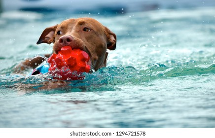 Staffordshire Bull Terrier looks to the right while swimming in pool with bright, red ball during dock diving event.