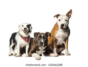 Staffordshire Bull Terrier, Mixed-breed with Border Collie sitting in front of white background