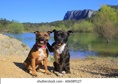 Staffordshire bull terrier in the mountain