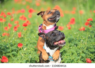 Staffordshire bull terrier in the nature