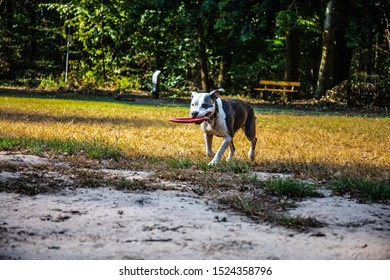 Staffordshire Bull Terrier playing on a field