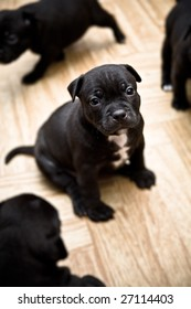 STAFFORDSHIRE BULL TERRIER puppy (2 weeks) is sitting on the floor, his siblings running around