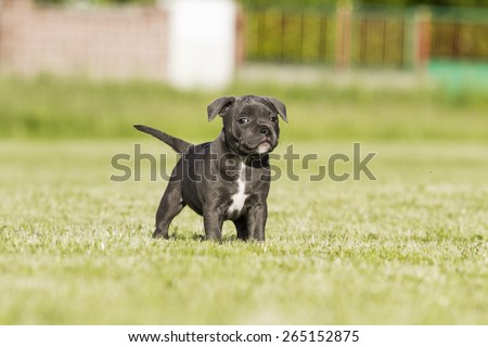 Utestående Staffordshire Bull Terrier Puppy arkivfoto (rediger nå) 265152875 XD-32