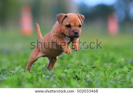 Glimrende Staffordshire Bull Terrier Puppy Cute arkivfoto (rediger nå AO-75