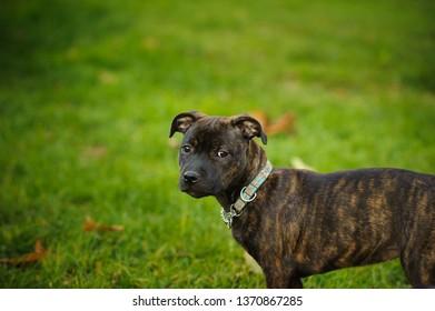 Staffordshire Bull Terrier puppy dog outdoor portrait in green grass