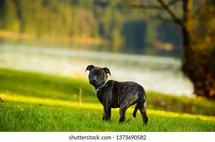 Staffordshire Bull Terrier puppy dog outdoor portrait