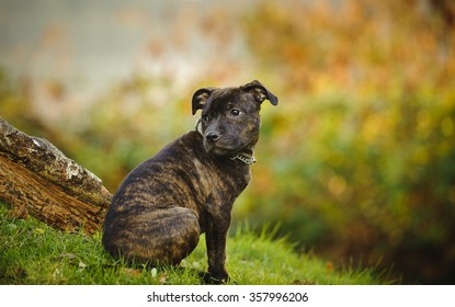 Brindle Staffordshire Bull Terrier Images Stock Photos Vectors