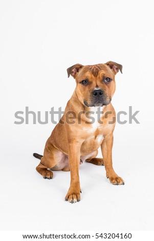 Glimrende Staffordshire Bull Terrier Staffbull Staffy arkivfoto (rediger nå AN-85