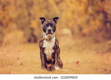 Staffordshire bull terrier waiting