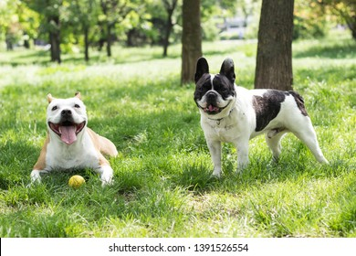 Staffordshire dog and French bulldog friends