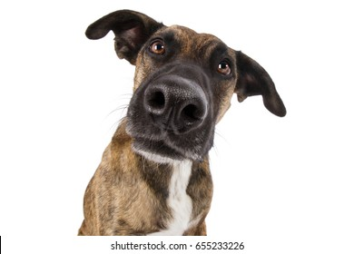 Staffordshire terrier dog mixed head with big nose looking funny silly wide angle