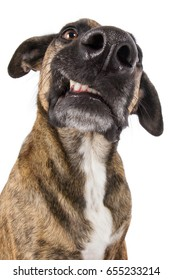 Staffordshire terrier dog mongrel head growling sour threateningly annoyed showing teeth