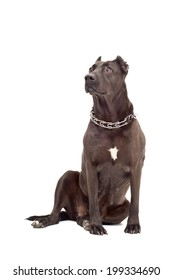 Staffordshire Terrier isolated on a white background