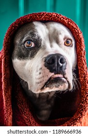 A staffordshire terrier pitbull dog poses with a blanket wrapped around his head like the shawl in the famous Steve McCurry photograph Afghan Girl