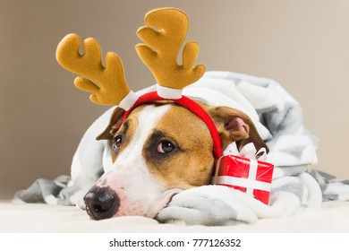 Staffordshire terrier puppy portrait  in throw blanket and with reindeer christmas toy horns in bed with new year present. Funny young pitbull dog in plaid with tiny red gift