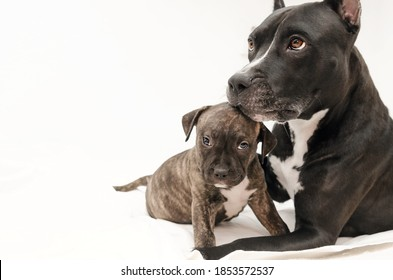 Staffordshire terrier two-month puppy. Young puppy dog sitting with mommy Dog. Dog mom kissing she's puppy dog. Two month puppy. Doggo family