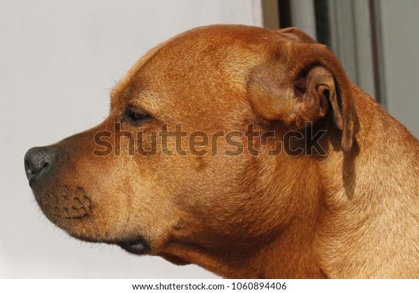 staffy head brown