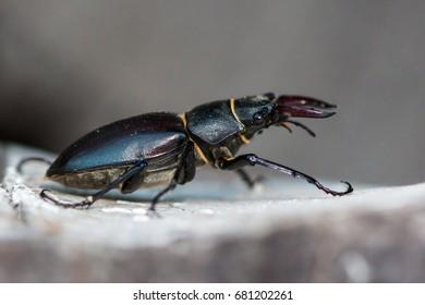Stag beetle 9lucanus cervus detailed macro image